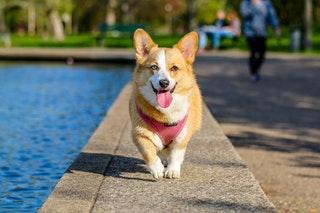 Hogyan adjunk jutalomfalatot kutyáknak?